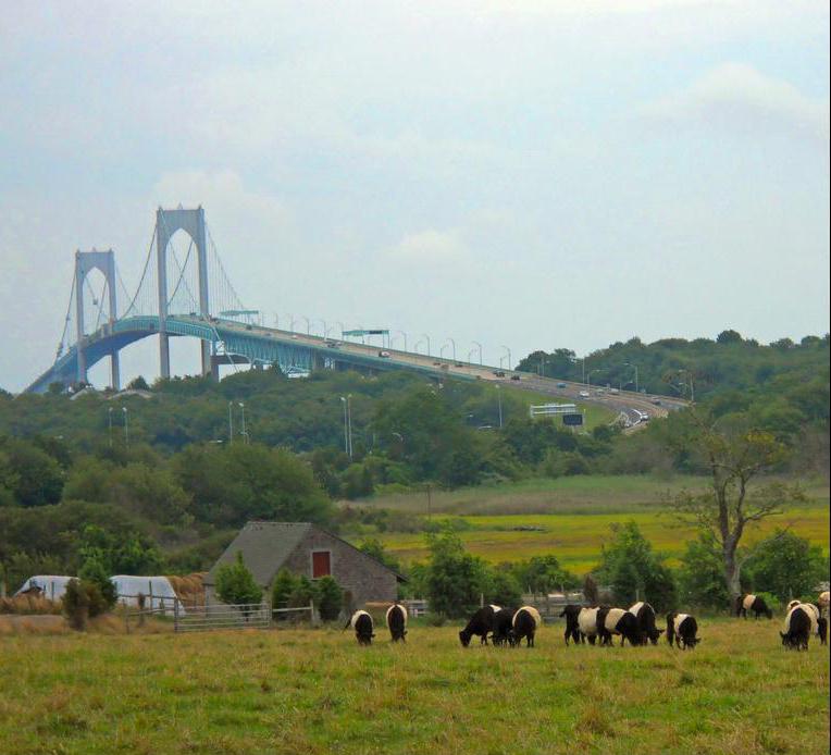 cows and newport bridge